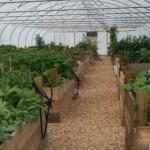 Tarland Community Garden - The polytunnel, August 2013