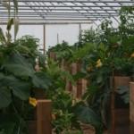 Tarland Community Garden - The polytunnel, Sept 2013